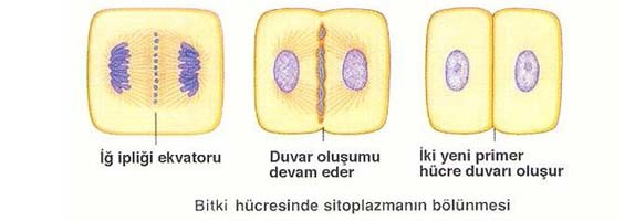bitki-hucresinde-sitokinez-mitoz bölünme-