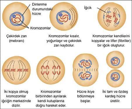 hayvan-hucresinde-mitoz-bolunme-evreleri
