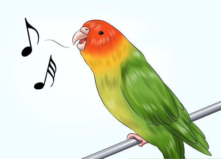 Muhabbet kuşunun şarkı söylemesi