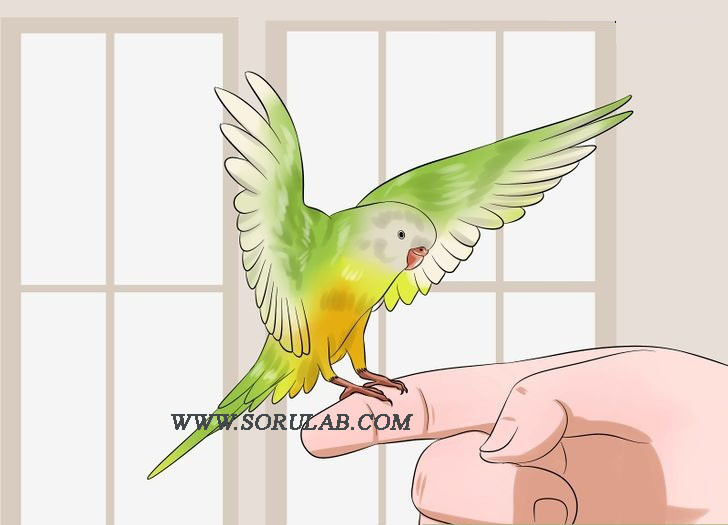 Muhabbet kuşu sevgisi