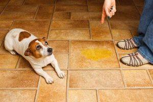 köpek eğitimin de ses tonu önemi