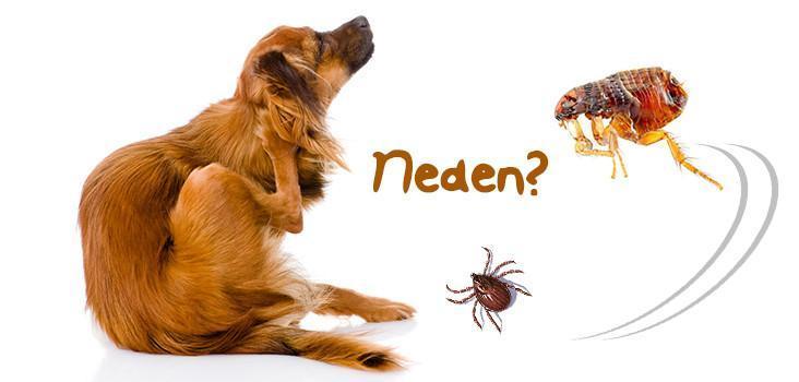 köpek alerji tedavisi