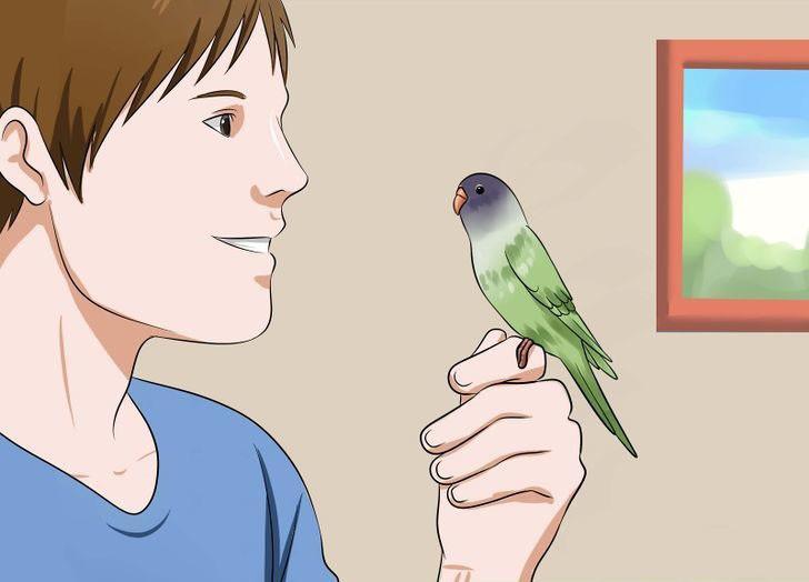 Muhabbet kuşu hakkında bilgi