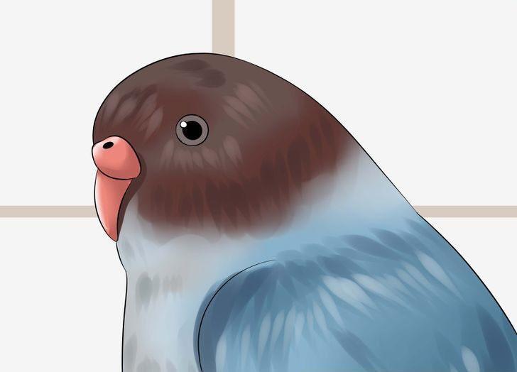 Muhabbet kuşu gözlerinin anlamı