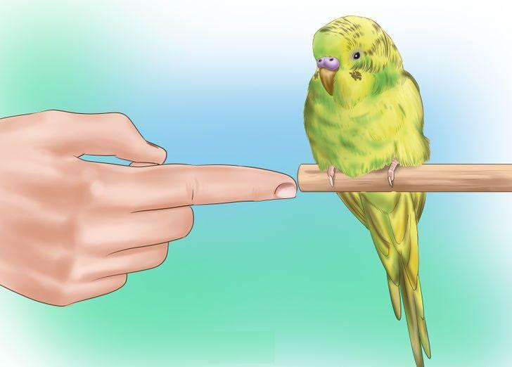 papağanı eğitin
