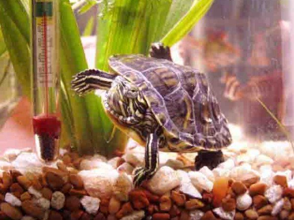 evde-kaplumbaga-bakmak